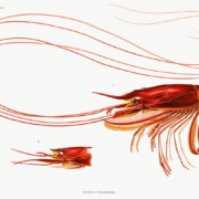 Colour illustration of a prawn