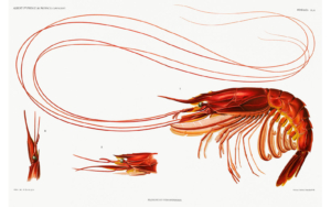 Colour illustration of a prawn
